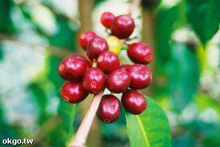 採咖啡去 相片來源:瑞里幼葉的林民宿