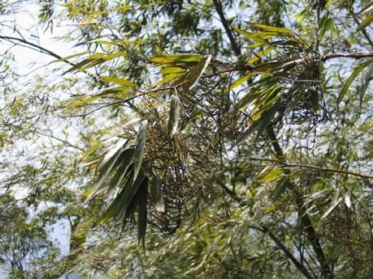 開花的孟宗竹 相片來源:竹山天梯山林瓦舍民宿