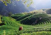 八卦茶園之美 相片來源:竹山天梯山林瓦舍民宿