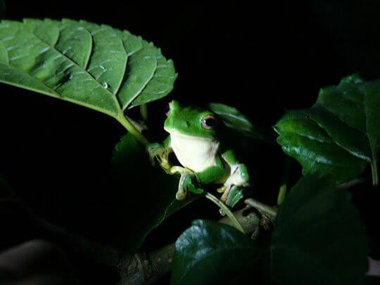 莫氏樹蛙 相片來源:桃米民宿‧桃米生態村‧紅瓦厝山居民宿|埔里民宿