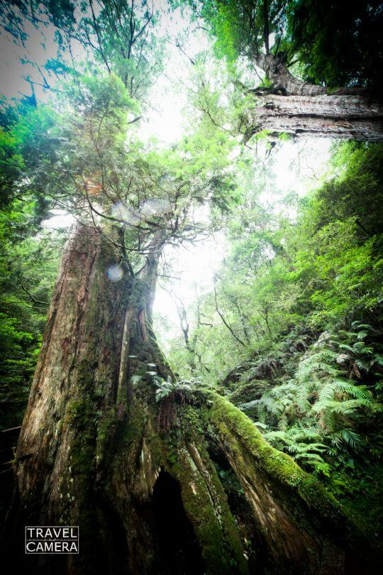 *拉拉山神木 相片來源:拉拉山北橫貫下巴陵溫泉山莊