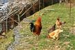 園區放山雞