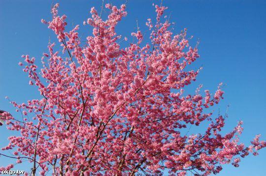 三月-富士櫻 相片來源:拉拉山民宿‧桃花源農莊