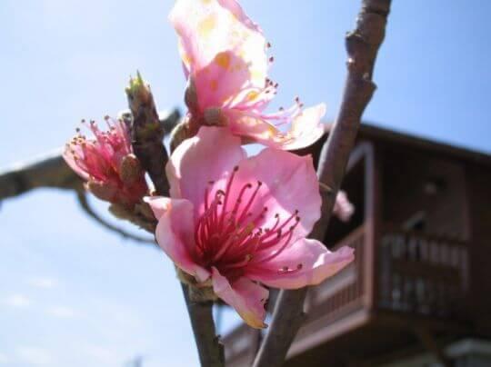 水蜜桃花園 相片來源:拉拉山觀雲休憩農莊