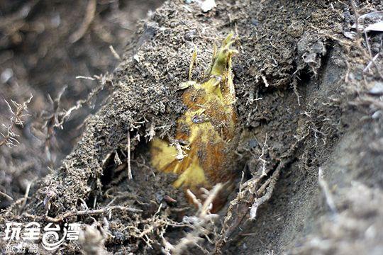 挖春筍尋寶活動