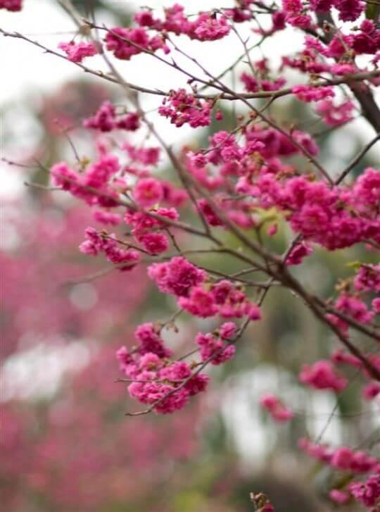 逍遙居盛開的櫻花 相片來源:溪頭逍遙居民宿