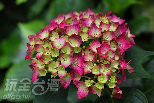 杉林溪繡球花季