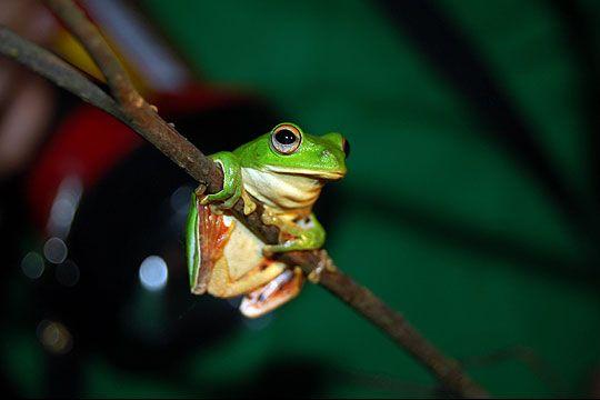 莫氏樹蛙 相片來源:青蛙ㄚ婆ㄟ家民宿
