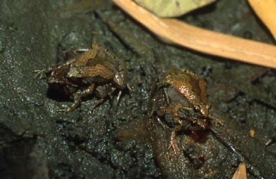 小雨蛙 相片來源:青蛙ㄚ婆ㄟ家民宿