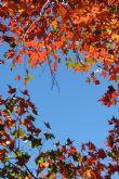 歲暮楓紅 馬赫坡森林 ----- 深秋季節、原來.....我家也有「奥萬大」!