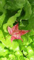 馬赫坡森林蔬果・・・・・楓林中・三姐巧手照顧下的有機菜圃