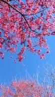 一月寒冬 緋寒櫻盛開