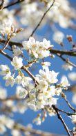 初春三月 農園内原生種・雪白霧社山櫻風姿