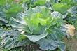 有機自種蔬菜
