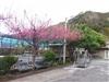 民宿櫻花景觀