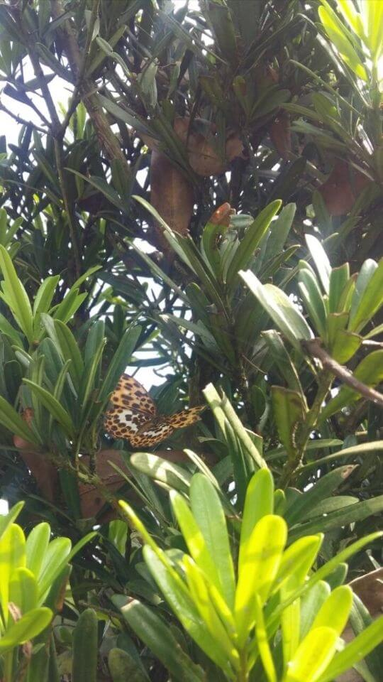 暑期家長帶小朋友來荳田町接近大自然,清涼一夏樂融融。 鹿谷鄉蝴蝶、蜻蜓、鳴蟬數量很多,七、八月份,荳田町廣濶的花園,蝶飛晴空,有藍、有黑、有白、有橘,繽紛璨爛,非常美麗。