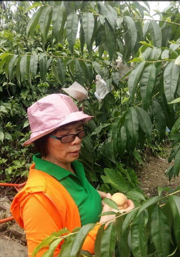荳田町的水蜜桃花已绽放開來,也開始結小小粒果實,對照去年,今天乾旱太久,水蜜桃的果實不知能否壯壯碩碩? 相片來源:溪頭荳田町民宿-官方網站
