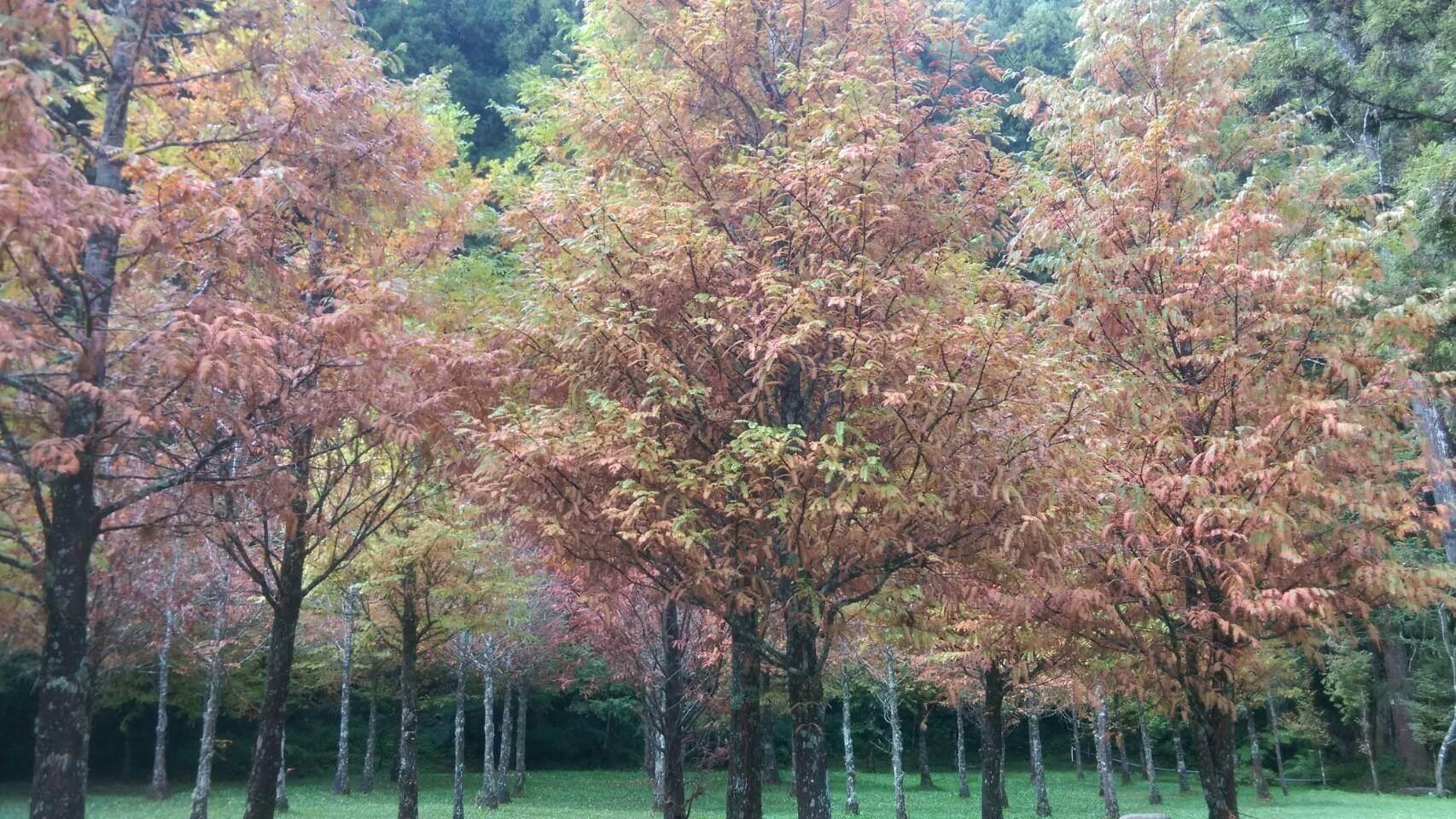 杉林溪的楓葉季已開始,水杉黄正漂亮。