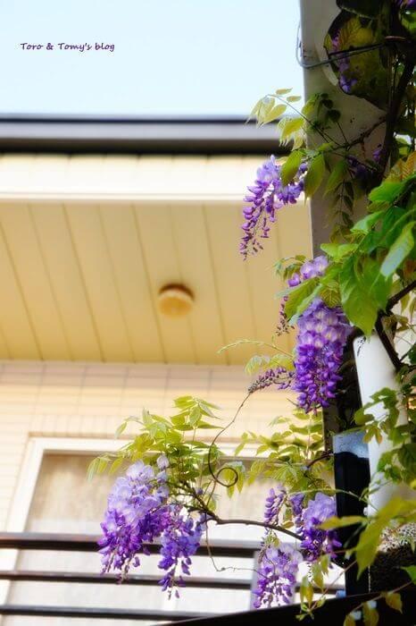 2013紫藤 相片來源:瑞里麗景民宿