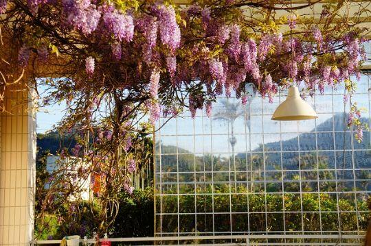 2014紫藤 相片來源:瑞里麗景民宿