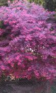 拉拉山的楓紅