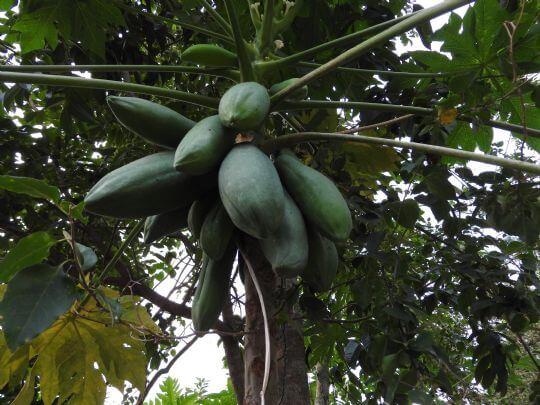 木瓜 相片來源:埔里天籟休閒民宿