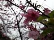 天元宮賞櫻花