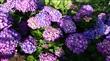 5、6月繡球花季