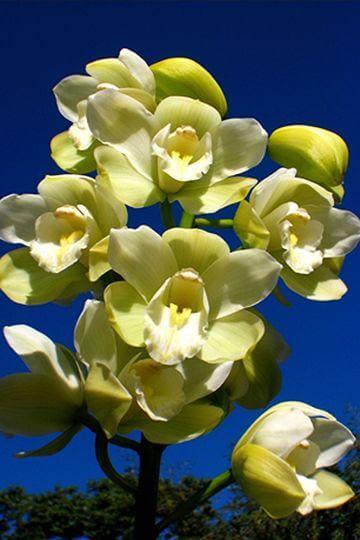 白色虎頭蘭 相片來源:阿里山花舞山嵐農莊