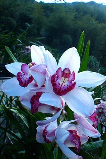 粉紅虎頭蘭 相片來源:阿里山花舞山嵐農莊