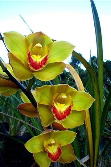 黃色虎頭蘭 相片來源:阿里山花舞山嵐農莊