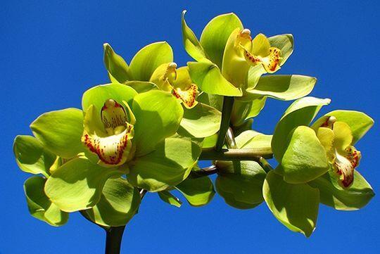 綠色虎頭蘭 相片來源:阿里山花舞山嵐農莊