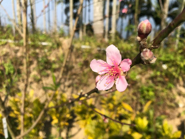 杜松區裡的梅花