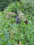 紫斑蝶.青斑蝶