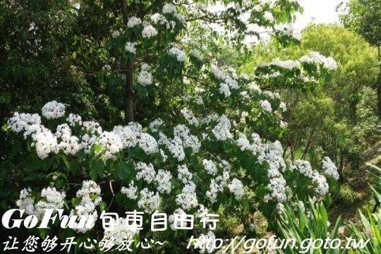 桐花季  GoFun景點實拍