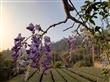 2020紫藤花