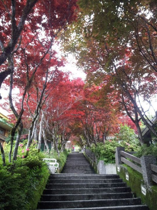 太平山紫葉槭步道