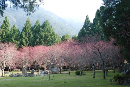 九族文化村天理園櫻花