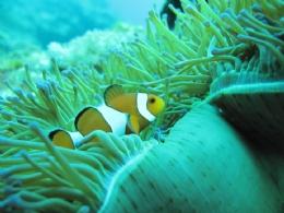 綠島小丑魚~尼莫