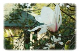 花園珍奇的植物''白玉蘭''