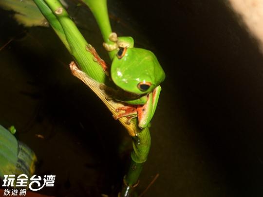 農莊生態-莫氏樹蛙