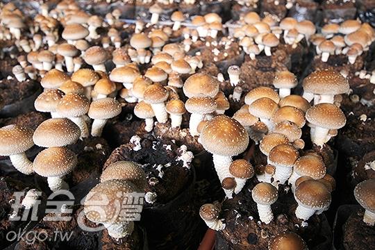 埔里阿靜香菇農場