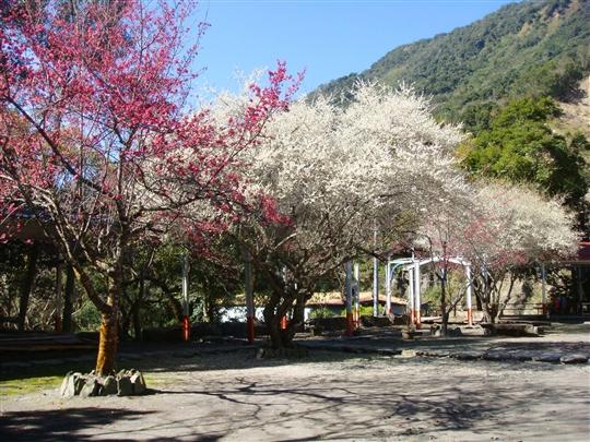 民宿櫻花季節