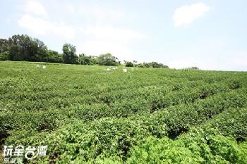 鹿野高台觀光茶園