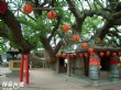 澤民樹(樟公樹)