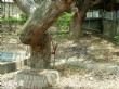 樟公樹‧樟公廟