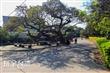 鳳坑村朴樹林