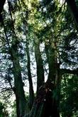 觀霧檜山神木群
