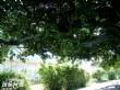 港墘老榕樹