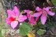 印度櫻花(羊蹄甲)大道